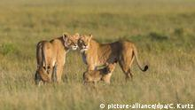 Zwei Löwinnen mit Jungtieren im Grasland, Masai Mara National Reserve, Kenia, Afrika (picture-alliance/dpa/C. Kurtz)