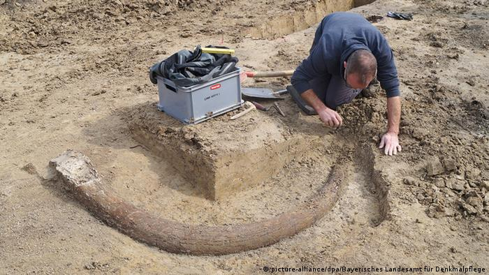 German archaeologists unearth massive mammoth tusk