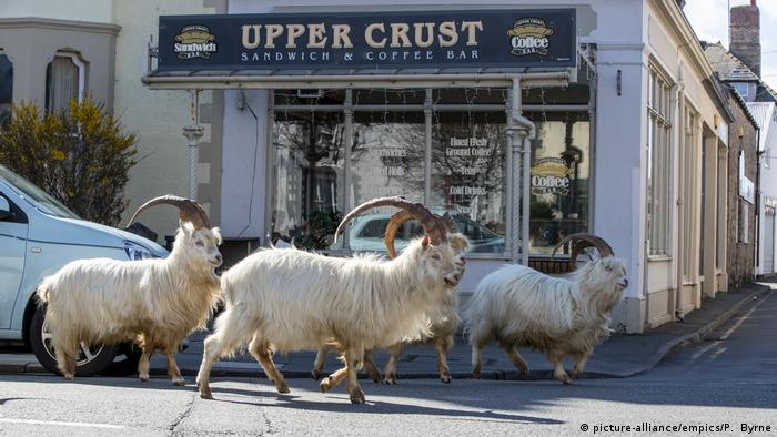 Several long-horned goats walk past shops in the center of Llandudno, Wales