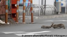 A baby rabbit and its mother leveret sharing an intimate moment middle ofa main road which is empty of traffic in Christchurch, New Zealand, on April 01, 2020.New Zealand has been lockdown for four weeksin an attempt to minimize the spread of the Covid-19 virus since the 25th of March. There are currently 708 cases of COVID-19 in New Zealand and one person died as a result of the virus. (Photo by Sanka Vidanagama/NurPhoto) | Keine Weitergabe an Wiederverkäufer.