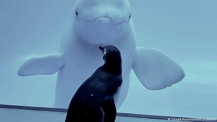 A rockhopper penguin observes a beluga whale at the Shedd Aquarium in Chicago