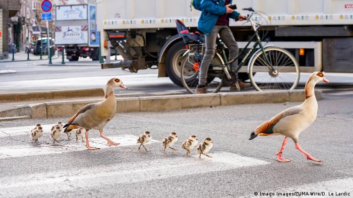 Família de patos atravessa uma rua usando a faixa de pedestres