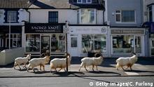 Goats roaming the streets in Llandudno, Wales (Getty Images/C. Furlong)