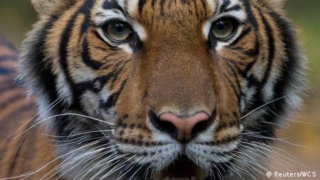 New York Bronx Zoo Tiger Nadia Coronavirus (Reuters/WCS)