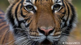 Тигрица Надя из зоопарка в Бронксе