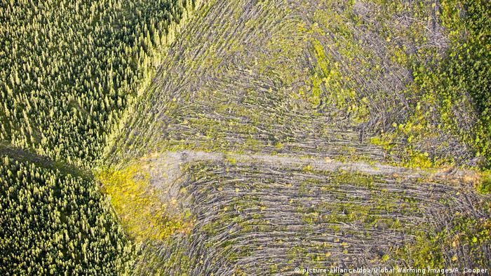 Amazonlar'dan sonra en hızlı ormansızlaşma Kanada'da.