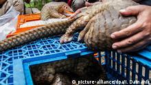 Pangolin Gürteltier Indonesien