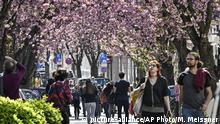 Bonn Altstadt Kirschblüten
