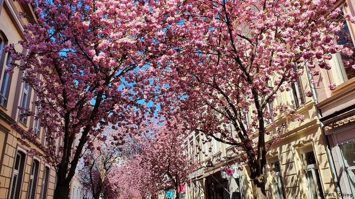 Street with ornate buildings and cherry trees(Foto: DW/L. Döing)