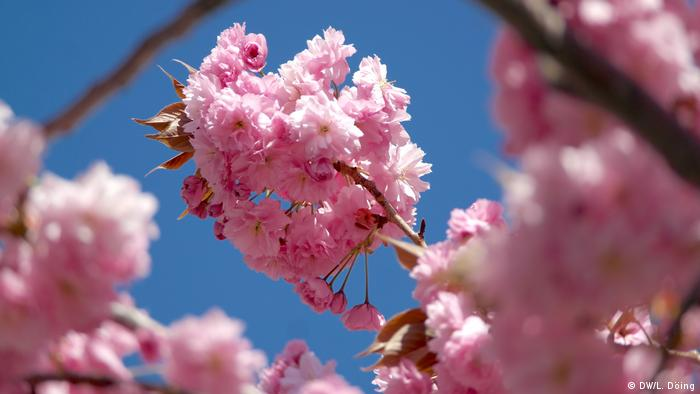 Closeups of pink blooming cherry trees in Bonn's Old City center. (Foto: DW/L. Döing)