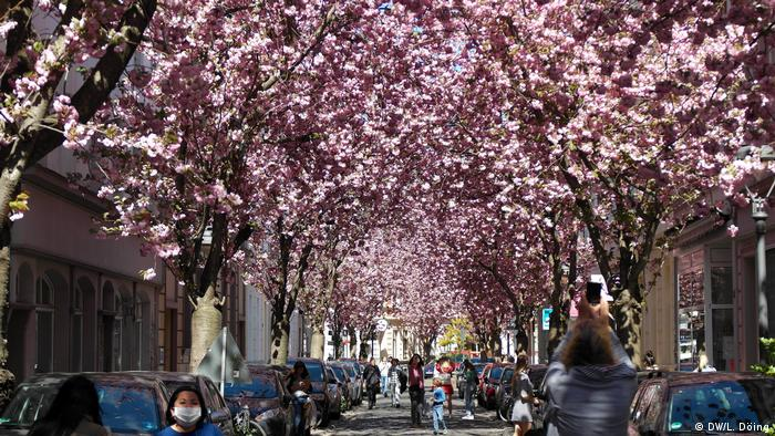 Breite Strasse with cherry trees in Bonn.(Foto: DW/Laura Döing)