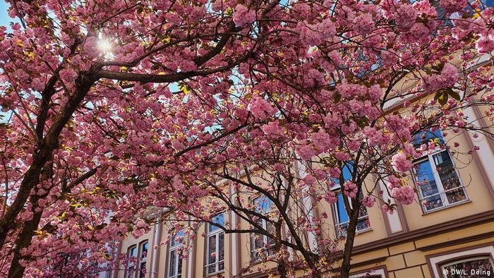 Deutschland Kirschblüte in Bonn