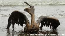 FILE - In this June 3, 2010 file photo, a brown pelican covered in oil sits on the beach at East Grand Terre Island along the Louisiana coast. The National Wildlife Federation released a report Tuesday, April 7, 2020, looking at Gulf restoration after the BP oil spill. The report states serious ongoing harm to dolphins, turtles and other wildlife in the Gulf of Mexico. (AP Photo/Charlie Riedel, File) |
