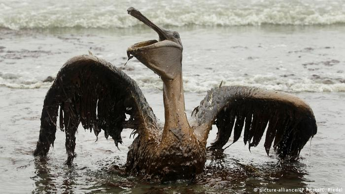 A brown pelican covered in oil