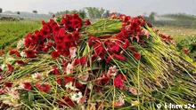 Farmers in Jashore's Godkhali are facing major losses as they are unable to sell their produce of cut flowers as a result of the nationwide lockdown due to a coronavirus outbreak. Rights: bdnews24