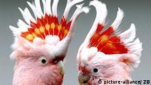 Groß Schauen (Brandenburg): Ein Inkakakadupärchen vom Tierparadies Rübesam im brandenburgischen Groß Schauen nahe Storkow sitzt am Dienstag (10.02.2004) auf einem Ast in der Voliere und scheint ein interessantes Zwiegespürch zu führen. Der Vogelliebhaber Gerhard Rübesam züchtet seit 35 Jahren Papageien. 40 verschiedene Papageienarten leben in den weitläufigen Volieren des 50-Jährigen. Mit seinen Zuchterfolgen ist Rübesam weit über die Landesgrenzen von Deutschland hinaus bekannt. Die Jungtiere werden überwiegend von Hand aufgezogen, damit sich die Tiere an den Menschen gewöhnen. Die majestätischen Vögel werden vorwiegend an private Tierliebhaber und an Tierparks und Zoos verkauft.