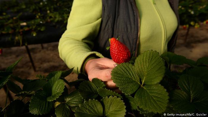 زراعة الفراولة في ويلفا
