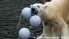 Eisbär mit Spielzeug im Zoo von Neumünster
