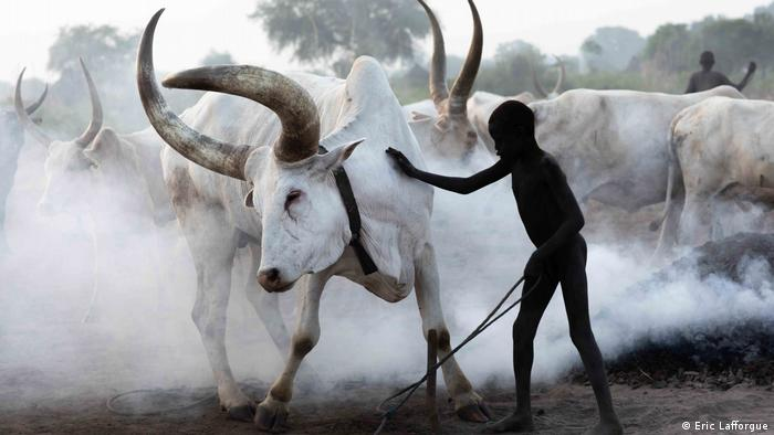 A boy massages a big white cow, with smoke in the background to wade off parasites