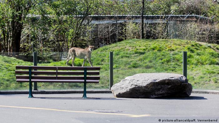 Gepard u zoološkom vrtu u Kölnu