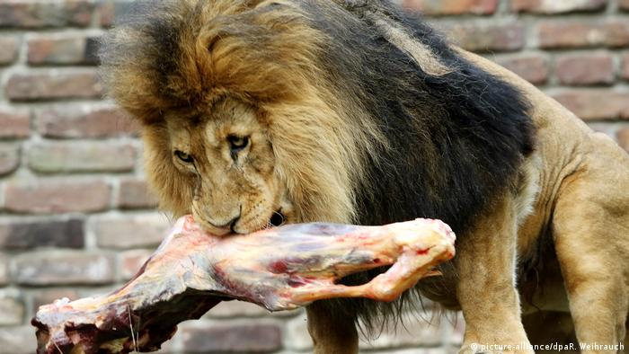 Lav u zoološkom vrtu u Duisburgu s komadom govedine