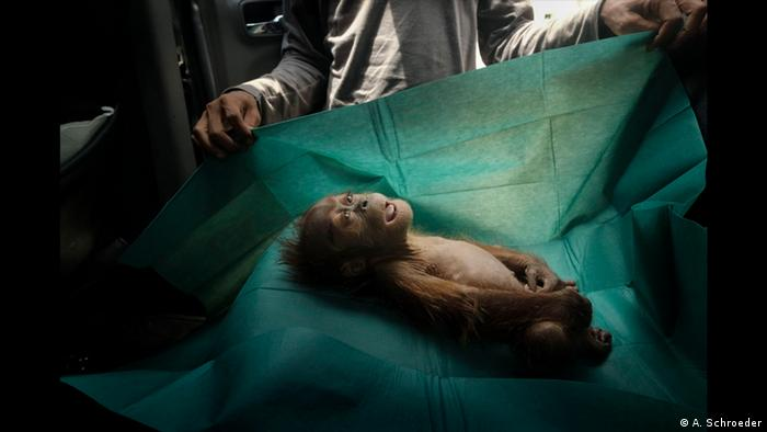 A dead baby orangutan, eyes open, on a green blanket (Alain Schroeder)