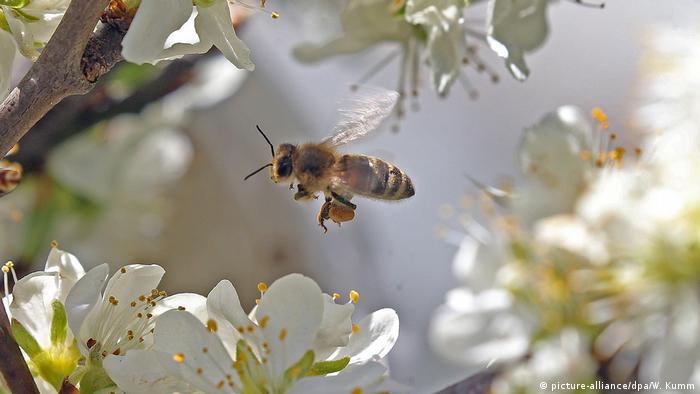 Deutschland BdT eine Honigbiene in Schöneiche