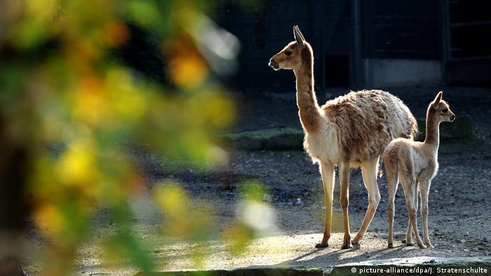Vikunjas im Zoo Hannover (picture-alliance/dpa/J. Stratenschulte)