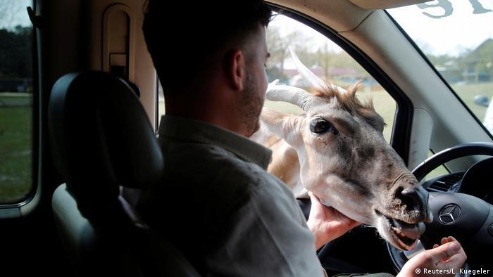 Pegawai sebuah kebun binatang Safariland Stukenbrock memberi makan seekor kijang. Safariland Stukenbrock jadi kebun binatang pertama yang kembali buka di Jerman.