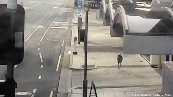 kangaroo hops through empty streets during the lockdown restrictions to prevent the spread of the coronavirus disease (COVID-19) in Adelaide, Australia, April 19, 2020.