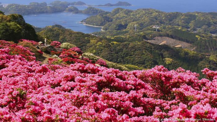 Azaleas are in full bloom at Saikai National Park, Nagasaki, Japan (picture-alliance/AP/Yomiuri Shimbun)