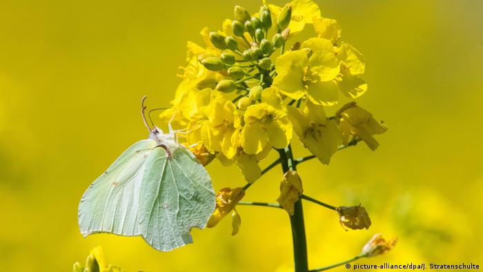 A butterfly drinks from a yellow rapeseed flower