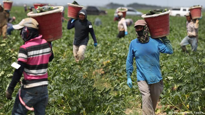Farm workers harvesting zucchini