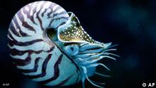 A Nautilus swims in the Underwater World Singapore's new showcase known as The Masters of Disguise, a collaboration of intelligent marine life form found in the deep seas. The Nautilus is the only member of the Cephalopod class to have a fully developed shell which encases its entire body. (AP Photo/ Wong Maye-E)