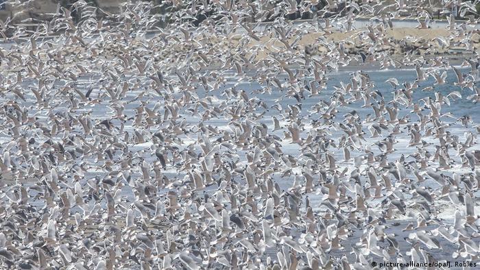 La disminución del ruido durante la cuarentena hace que el canto de las aves, que antes quizás pasaba inadvertido, sea más perceptible para el oído humano. En la playa de Agua Dulce, una de las más bulliciosas de Lima, Perú, los vecinos pudieron disfrutar en primera línea de un concierto típico de una reserva natural que ofrecieron los centenares de pelícanos y gaviotas que ahí se congregan.