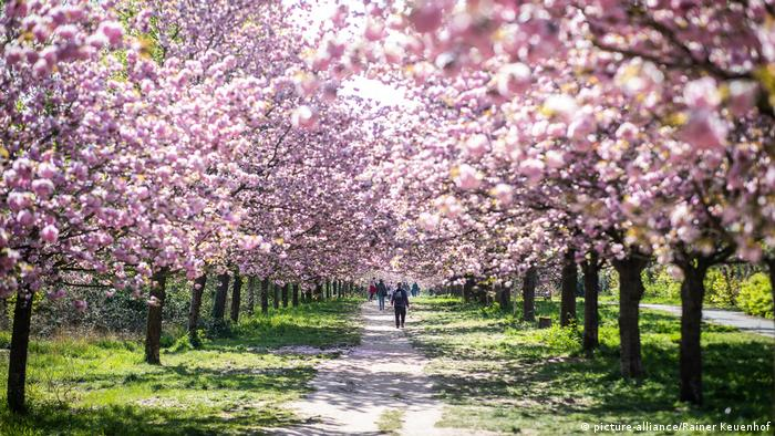 Teltow Japanische Kirschblütenallee (picture-alliance/Rainer Keuenhof)
