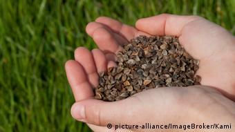 Close-up of hands holding buckwheat seeds