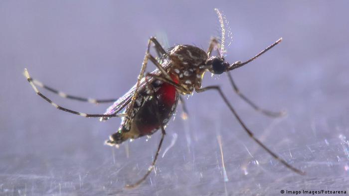 El mosquito tigre, transmisor del dengue, el zika y la malaria, se caracteriza por sus manchas blancas.