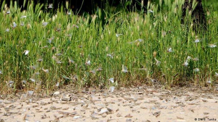 Afghanistan Heuschreckenplage (DW/S. Tanha)
