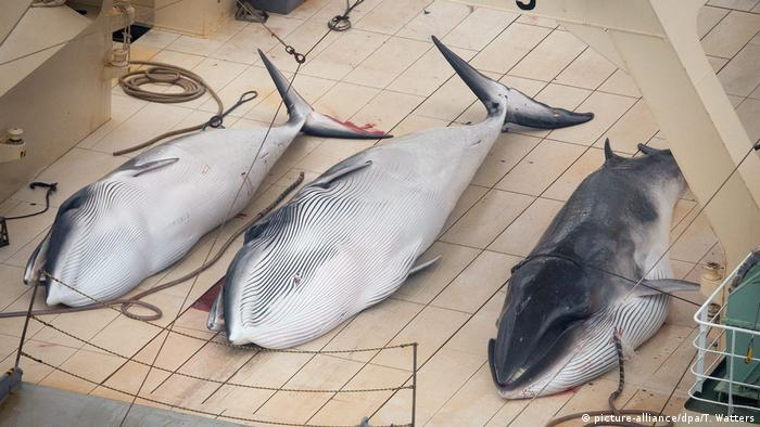 Dead minke whales on a ship
