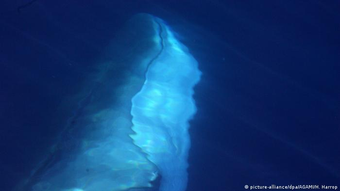 A fin whale (Balaenoptera physalus) under water.