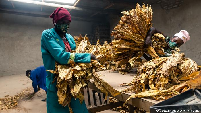 Zimbabwean tobacco workers wearing face masks