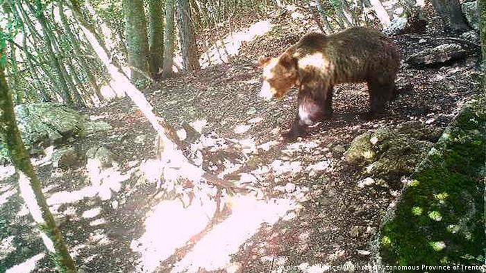 The bear M49 (picture-alliance/AP Photos/Autonomous Province of Trento)