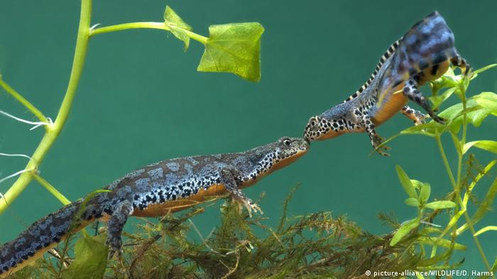 Two alpine newts (picture-alliance/WILDLIFE/D. Harms)