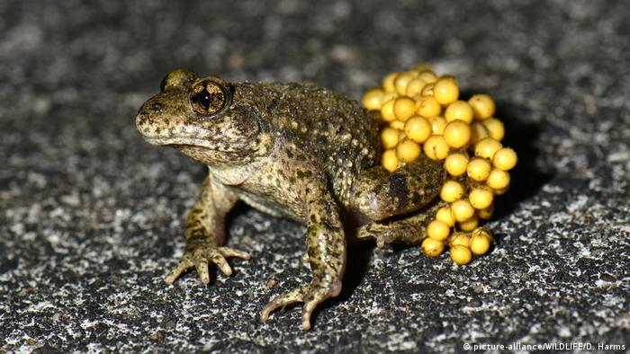 A male midwife toad (picture-alliance/WILDLIFE/D. Harms)