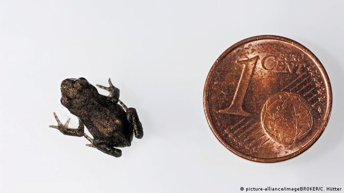 Erdkröte (Bufo bufo), Jungtier und 1-Cent-Stück im Größenvergleich (picture-alliance/imageBROKER/C. Hütter)