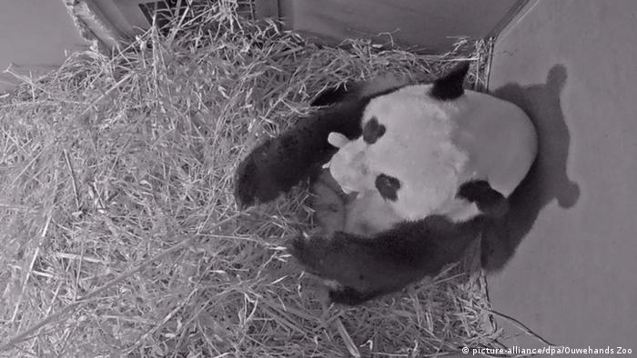 El bebé, cuyo sexo aún no se conoce, nació el 1 de mayo después de un largo período de incertidumbre, anunció el zoológico de Ouwehands, en Rhenen. En 2017, China prestó los padres, la hembra Wu Wen y el macho Xing Ya, a Países Bajos por 15 años. El recién nacido, que se encuentra bien, podrá permanecer en el país europeo cuatro años antes de ser enviado a China (02.05.2020).