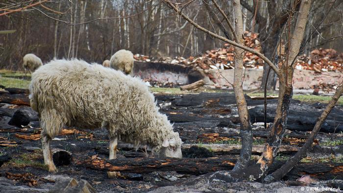 Овца ищет корм на пепелище