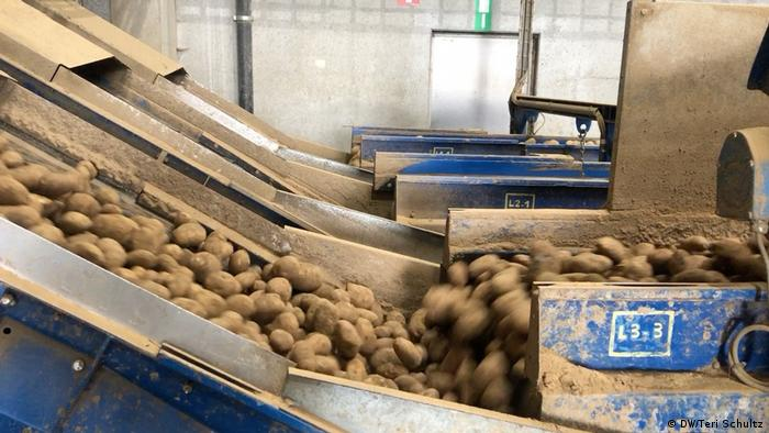 Potatoes coming into the Mydibel plant to be processed into frozen food products.