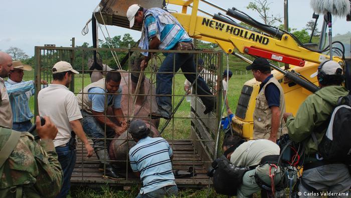 Un hipopótamo sedado es trasladado a un camión.